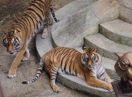 Fort Boyard, les tigres sous calmants ? Le dresseur monte au créneau