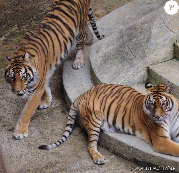 """Les tigres de """"Fort Boyard"""""""