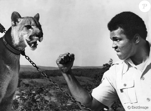 Mohamed Ali et un puma à son camp d'entraînement à Deer Lake. Le 2 septembre 1974.