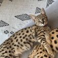 Sushi et Tuna, les nouveaux chatons Savannah de Justin Bieber, sur Instagram, octobre 2019.