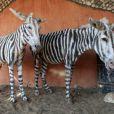 Ces pauvres mules ont été peintes de traits noirs pour passer pour des zèbres !