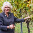 Camilla Parker Bowles, présidente de l'association des vignobles du Royaume-Uni, a coupé des grappes de Chardonnay au domaine Chapel Down dans le Kent, le 15 octobre 2014.