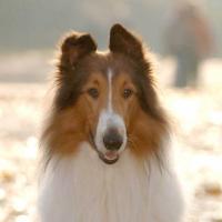 Lassie en 2005 à Londres