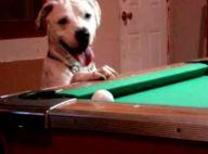 Ce chien joue vraiment au billard ! Regardez la vidéo... c'est un champion !