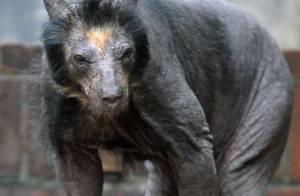 Découvrez en images le premier ours sans fourrure ! Impressionnant !