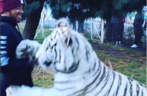 Lewis Hamilton : Tigre blanc et lionceau, la dernière folie du pilote de F1