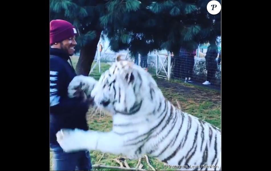Lewis Hamilton avec un tigre blanc baptisé Enzo à la Black Jaguar - White Tiger Foundation avec le lionceau Lewis - Photo issue d'une vidéo publiée le 16 janvier 2016