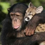 Ce singe se prend pour un puma ! C'est très dangereux !