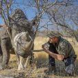 Prince Harry en train de soigner un rinhocéros au Botswana en septembre 2016 avec des membres de la Rhino Conservation Botswana (RCB). La Rhino Conservation Botswana (RCB) a annoncé que le prince Harry avait accepter d'être le nouveau patron de l'oeuvre caritative.