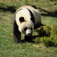Mâle panda nommé Yuan Zi au Zoo de Beauval (photo datant de 2012)