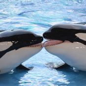 Mort de Kasatka, orque star de SeaWorld, un mois après sa petite-fille Kyara