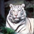 Siegfried & Roy sont devenus des stars avec leurs spectacles les mettant en scène avec des tigres blancs