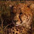 Un léopard dans la bande-annonce de Pékin Express - La route des grands fauves