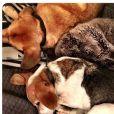 Meghan Markle : ses chiens Guy (beagle) et Hobart en pleine sieste, photo Instagram 6 novembre 2016