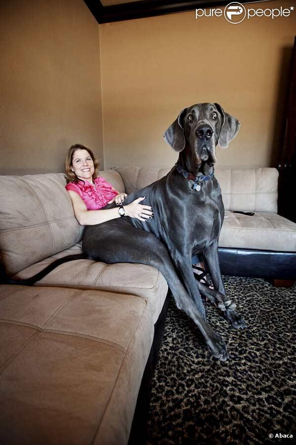 Giant George est le plus grand chien du monde, il mesure 1,10 mètres au garrot