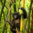 Des images de  Bonobos.