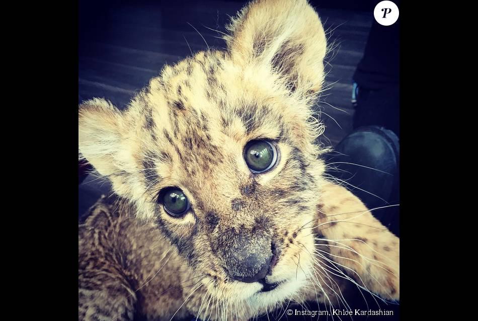 Khlo kardashian tomb e amoureuse d 39 eddie b b tigre du parc de la fondation black jaguar - Bebe du jaguar ...