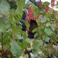 Vendanges des vignes du Clos Montmartre à Paris le 12 octobre 2019. © Giancarlo Gorassini/Bestimage