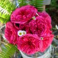 """La rose """"Audrey Fleurot"""""""